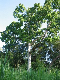 Agropecuaria global lista de rboles maderables for Lista de arboles perennes