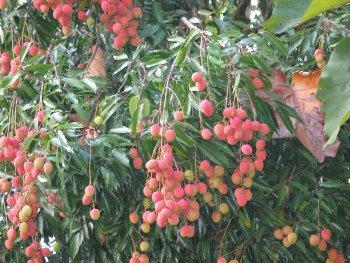 Arbol con frutos maduros (var. Broster)
